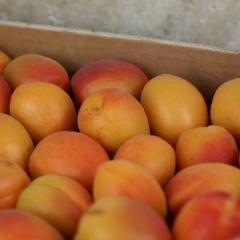 Plateau d'abricots à confitures de Michel Ayme (Graveson 13) x 5 kg