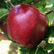 Pommes Prim rouge de Stéphan Charmasson (Arles 13) x 500g
