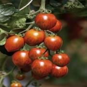 Tomates cocktail de Jérôme Vasserot (Saint Cannat 13) x 300g