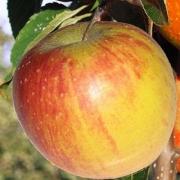 Pommes Rubinette de Claude Vignaud (Rognonas 13) x 500g