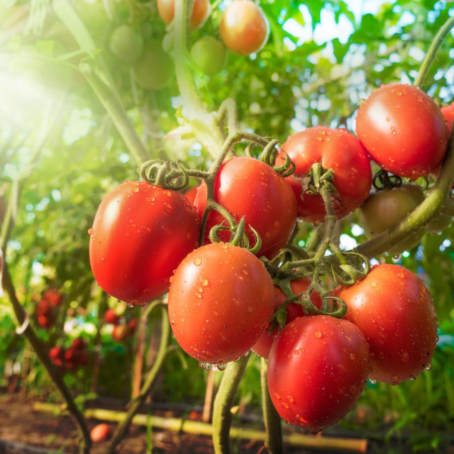 Tomates rondes de Jérôme Vasserot (Saint Cannat 13) x 500g