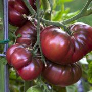 Tomates anciennes de Jean Serradimigni (La Fare les Oliviers 13)+/- (76377)