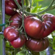Tomates anciennes de Baptiste Arnaud (Lambesc 13)+/- (76377)