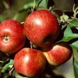 Pommes Reine des Reinettes de Stephan Charmasson (Arles 13) X 500g