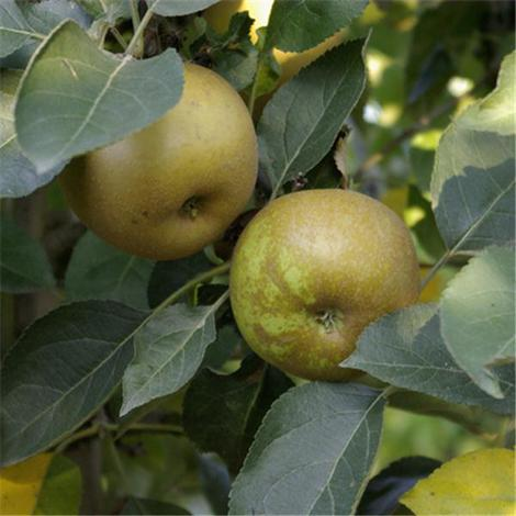 Pommes Reinettes grises du canada  de Stéphan charmasson ( Arles 13 ) X 500g