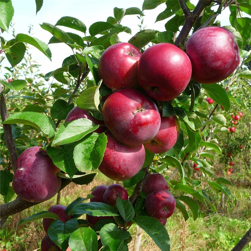 Pommes Crimson Crisp de Frédéric Jean (Noves 13) X 500g